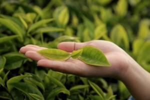 tea_tree_oils_1