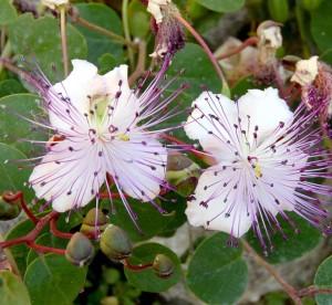 capperi fioriti