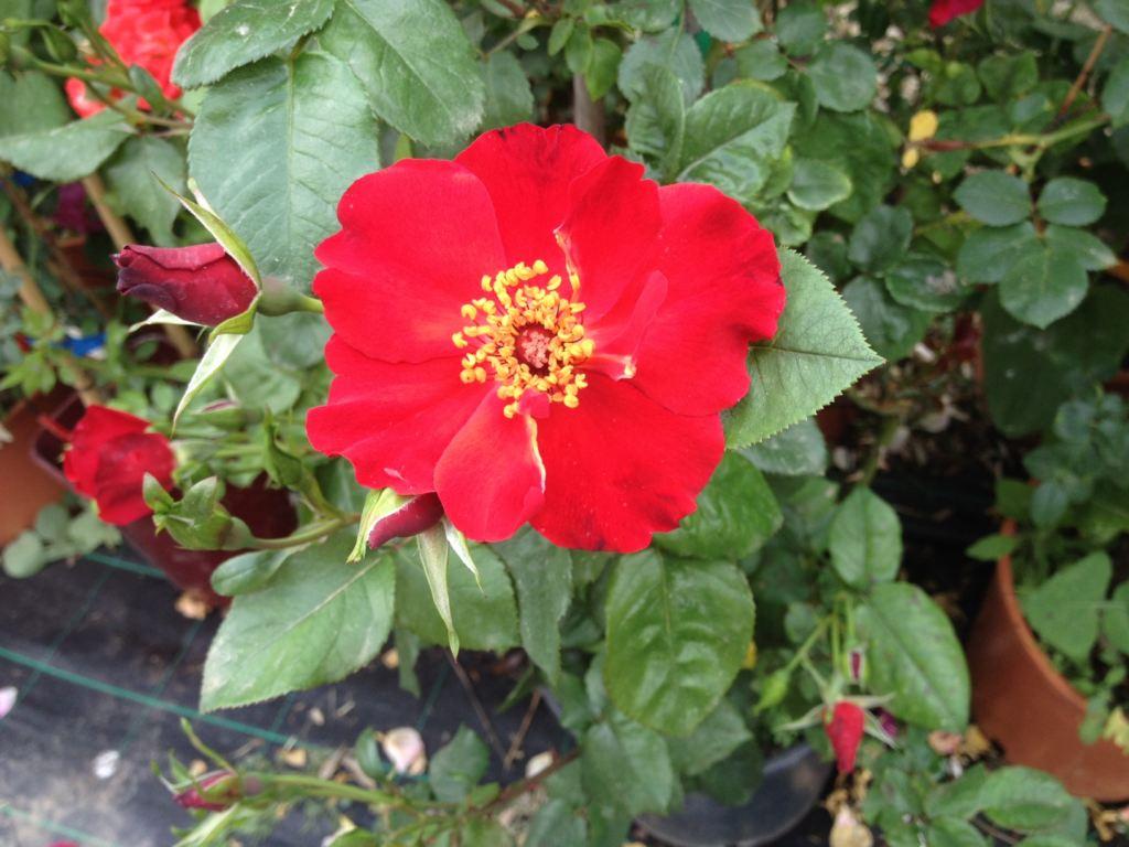 rosa dedicata al vino sagrantino