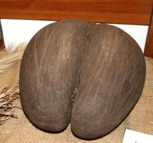 Seychelles palma del Coco de Mer