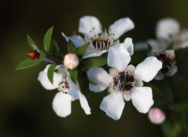 fiori di manuka