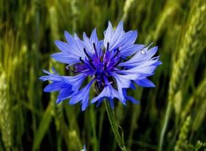 fiori utili fiordaliso