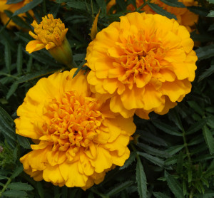 fiori utili tagete