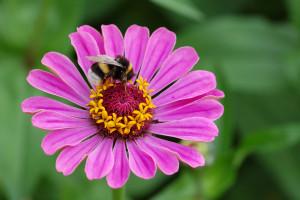fiori utili zinnia