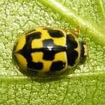 COCCINELLE Propylea_quatuordecimpunctata