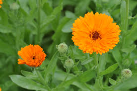 fiori utili calendula