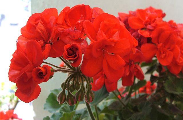 piante da giardino geranio