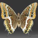 farfalle caraxe