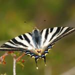 farfalle podalirio