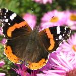 farfalle vanessa