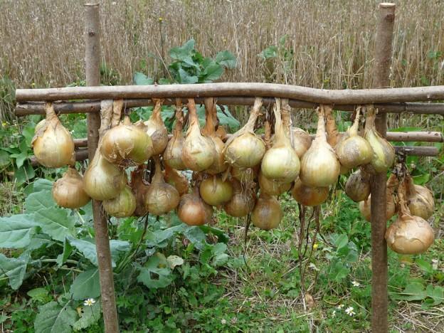 semine cipolle