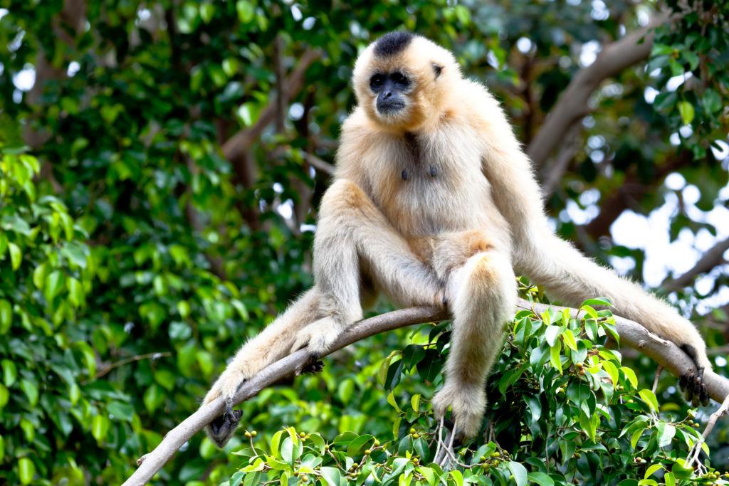 """Il primate """"Gibbone dalla cresta nera"""" sta ripopolando la foresta di Bawangling"""
